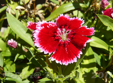 clavelina roja y blanca