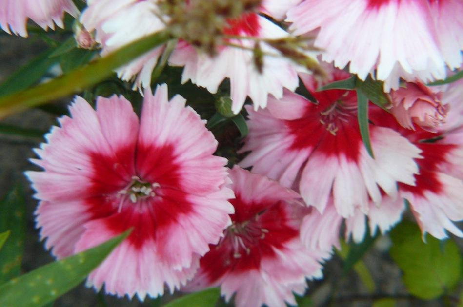 Clavelina rosa y roja