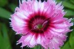 Clavelina rosa y vino tinto