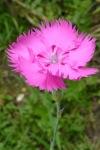Clavelina rosa