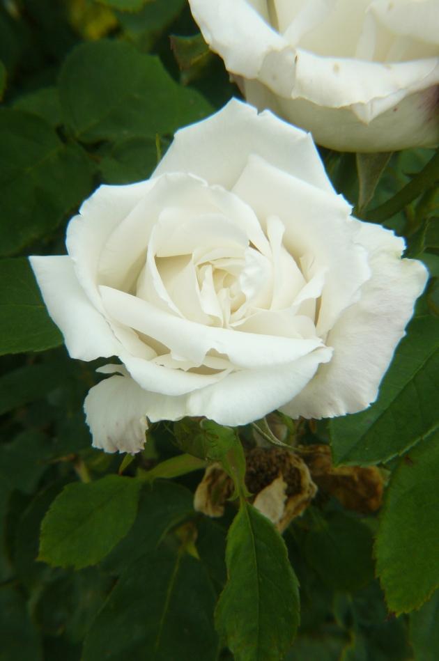 jardim rosas de saron:Las rosas blancas: Son el símbolo de la pureza y de la inocencia. Las