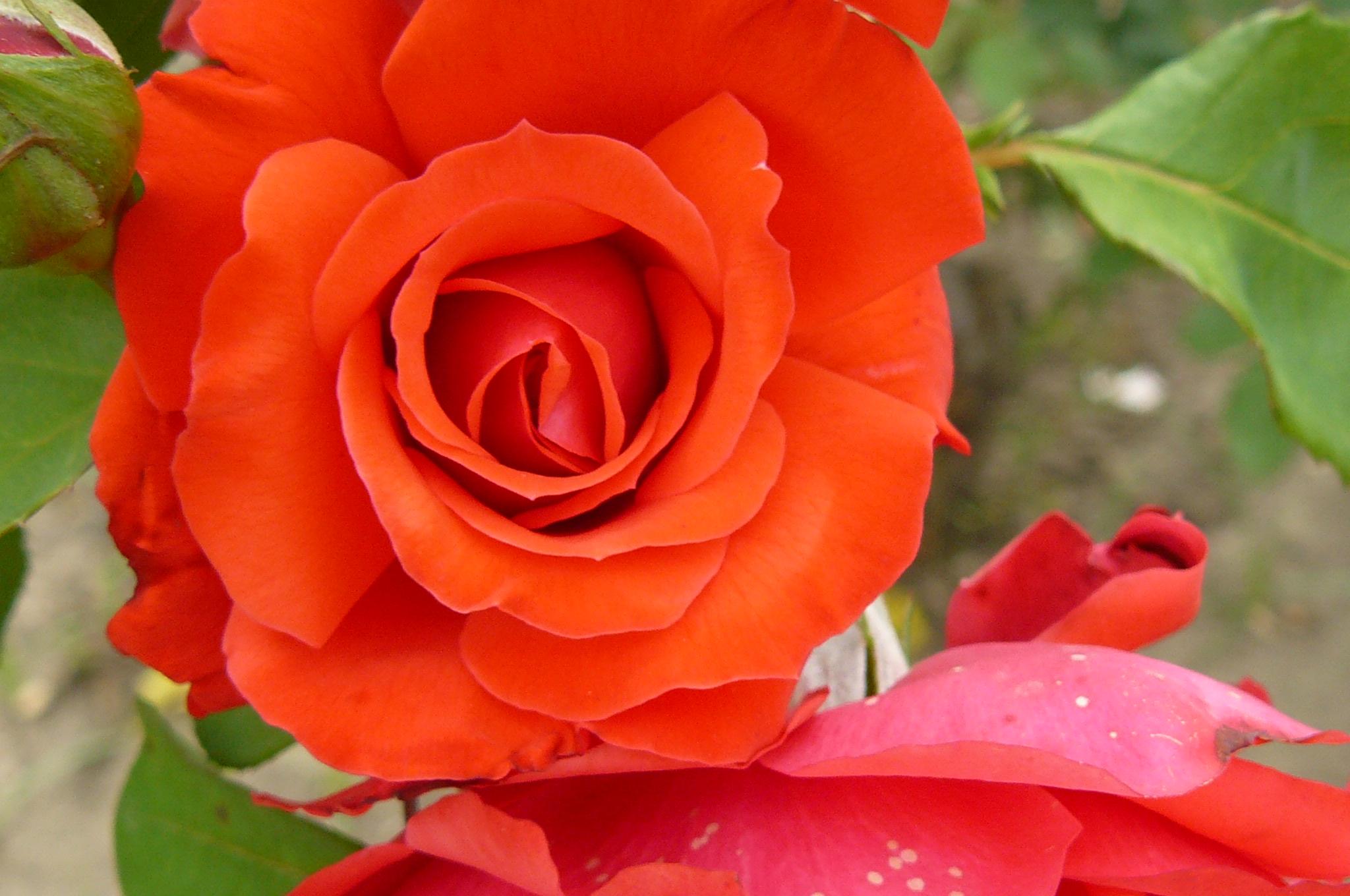 IMÁGENES DE FLORES rosas, margaritas, cláveles y más