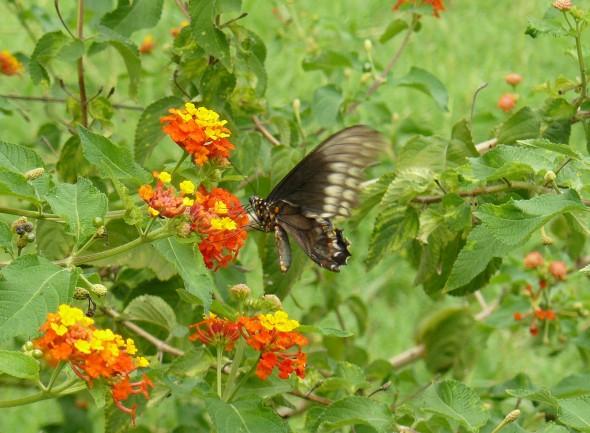 Esta pequeñuela no cesó un intante de mover sus alas, parecía muy feliz y a gusto de libar las coloridas lantanas.