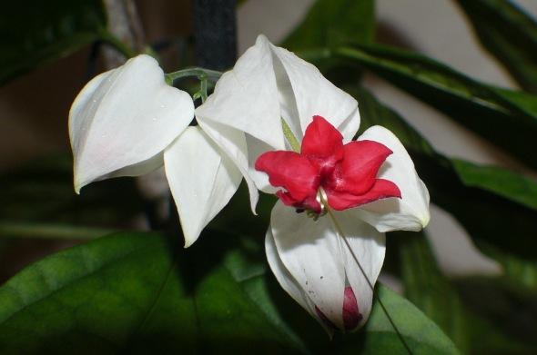 Esta hermosa belleza la hallé en Nanegal, Ecuador. Aunque también la he visto aquí en Montevideo.