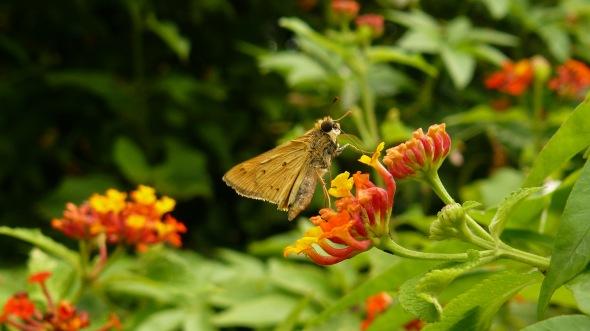Otra pequeña bellecita que no me dejó ver sus alas desplegadas, pero sí, sus grandes ojos!