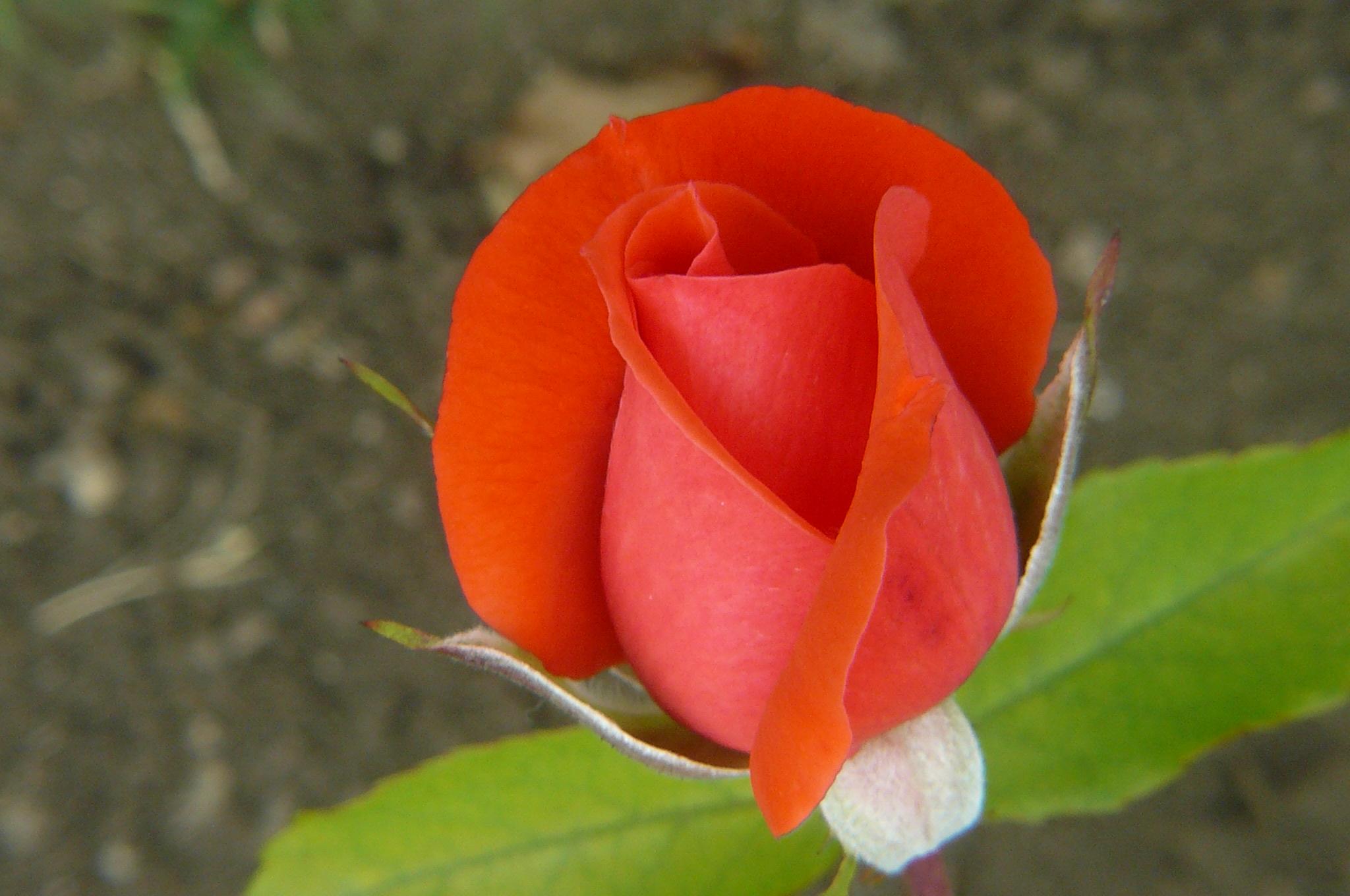 Rosas Maravillate