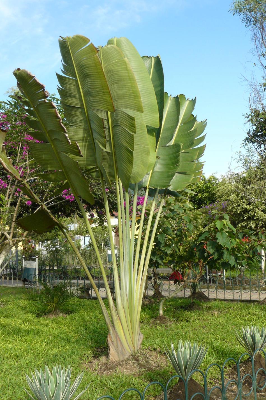 Palmera en forma de abanico en la plaza central de for Tipos de palmeras de exterior