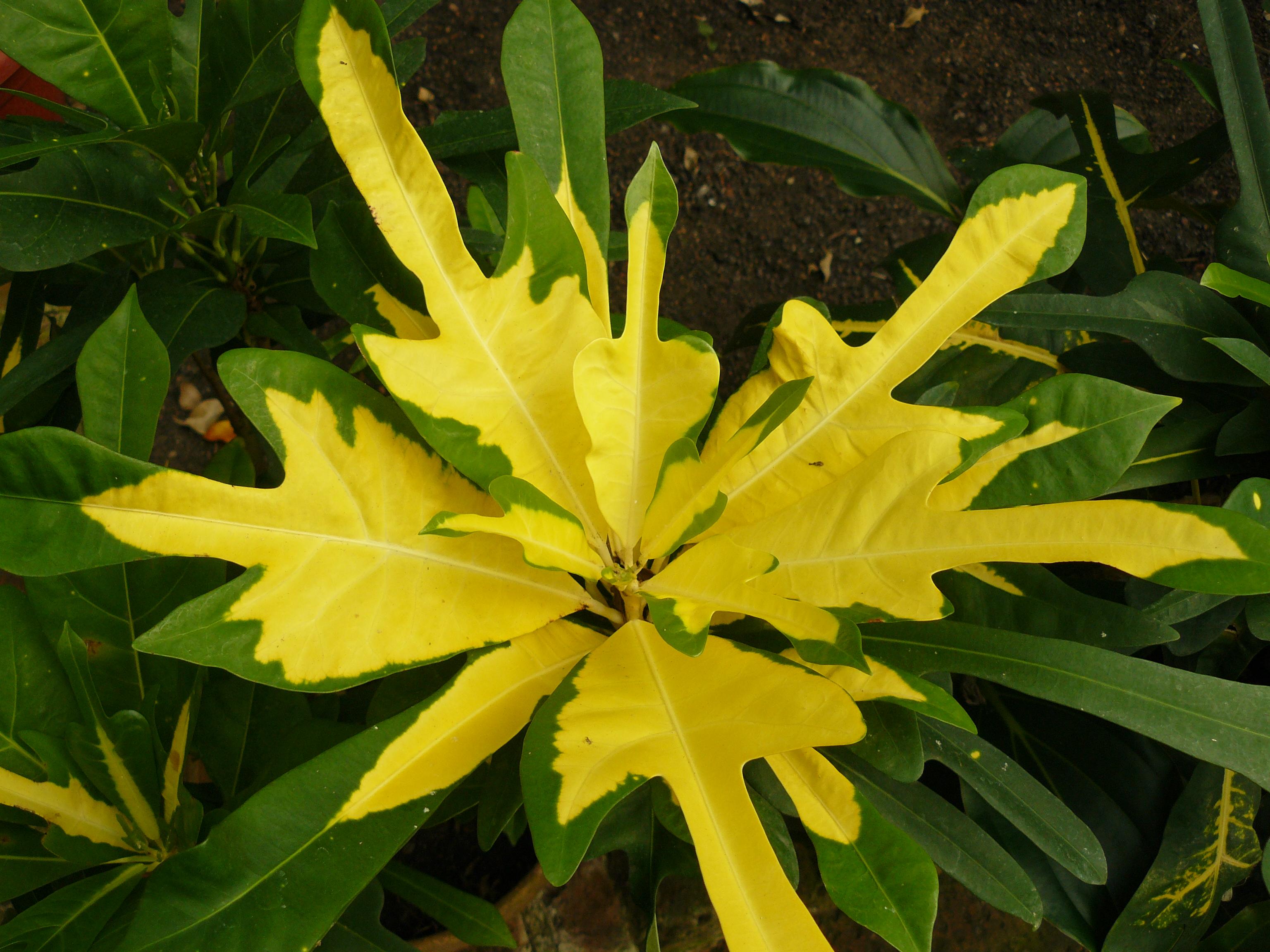 Planta de hojas verdes y amarillas maravillate - Plantas de hojas verdes ...