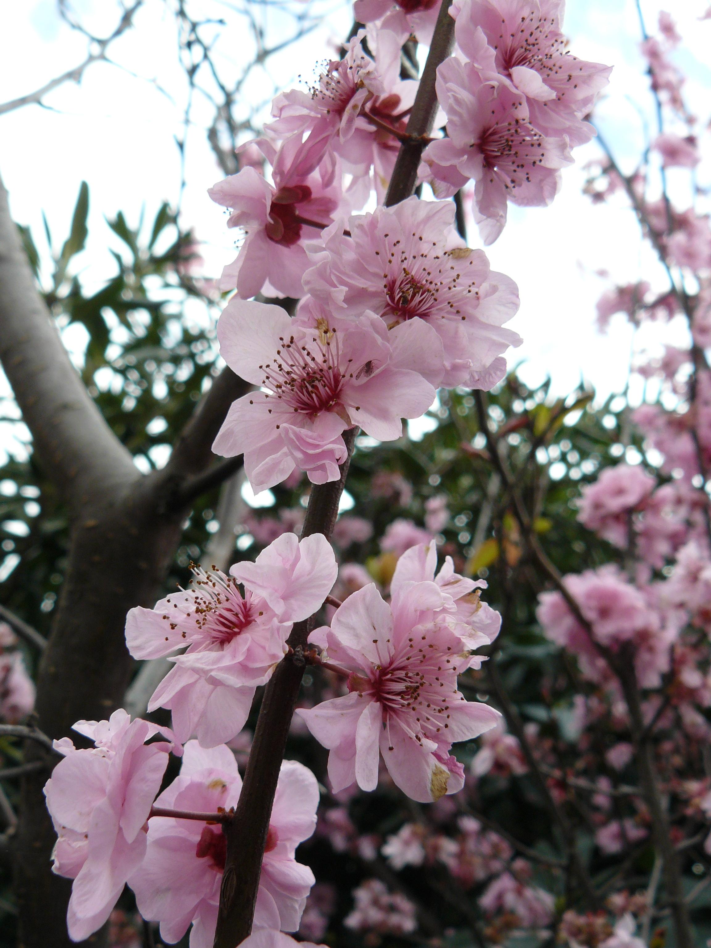 Flor de rbol de ciruelas maravillate - Arbol de rosas ...