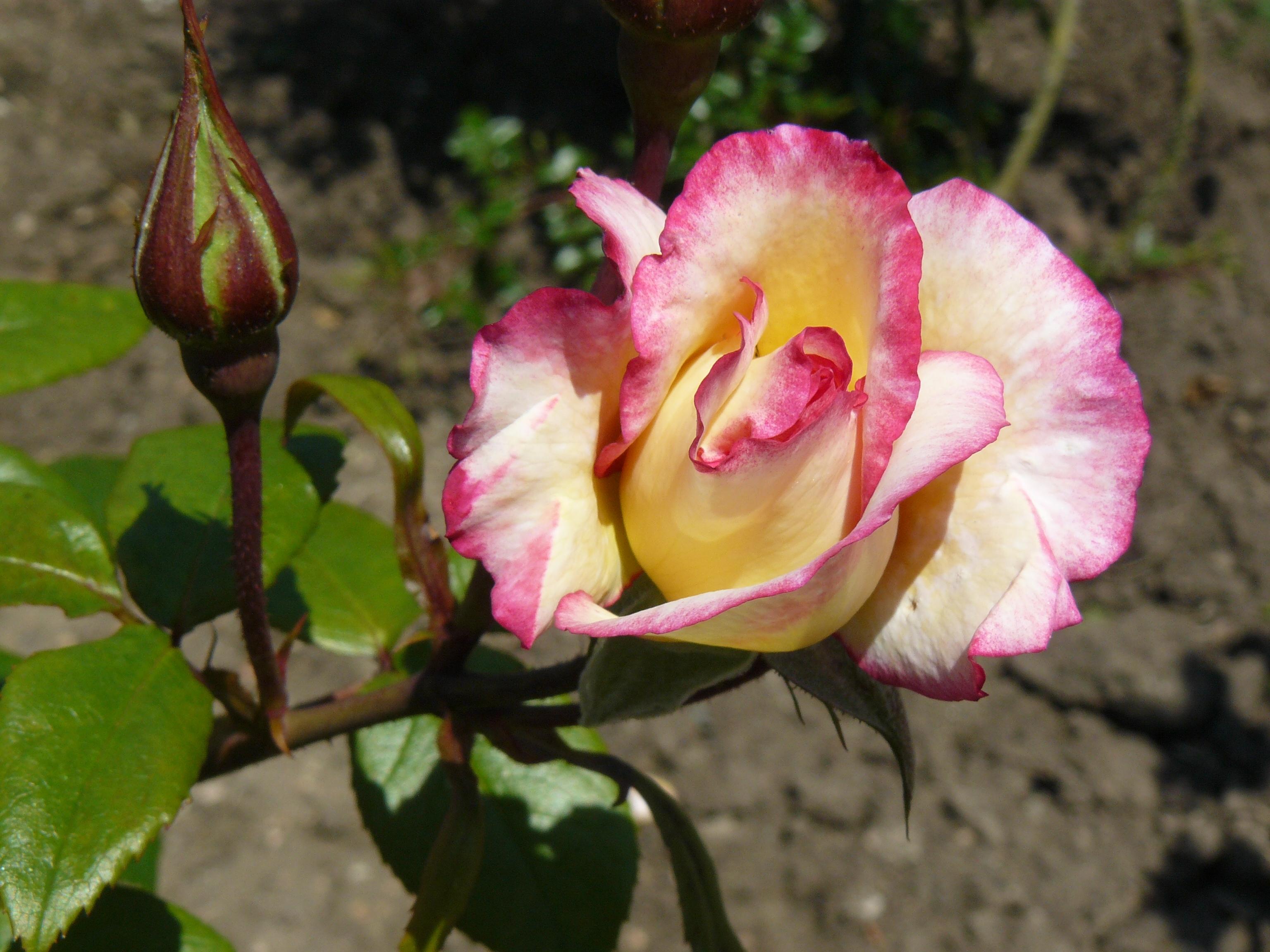 Rosas Rojas Maravillate