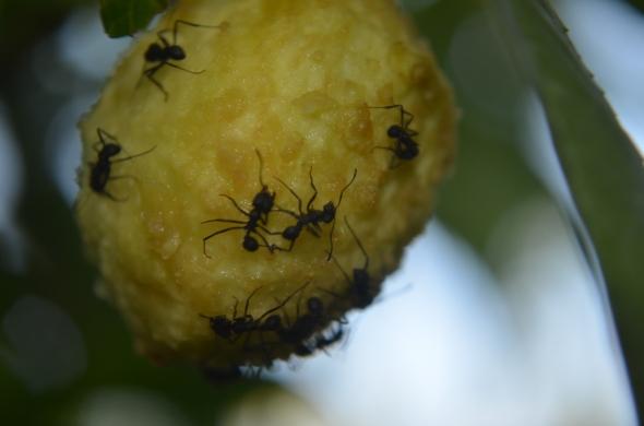 Hormigas disfrutando de nuestros duraznos aún madurando en el árbol