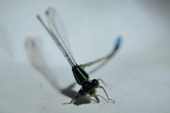 la pequeña libélula