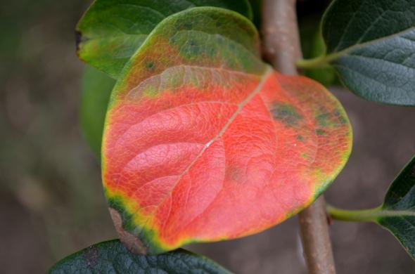 Hoja del árbol de kaki de nuestro jardín, vistiéndose tempranamente de otoño.