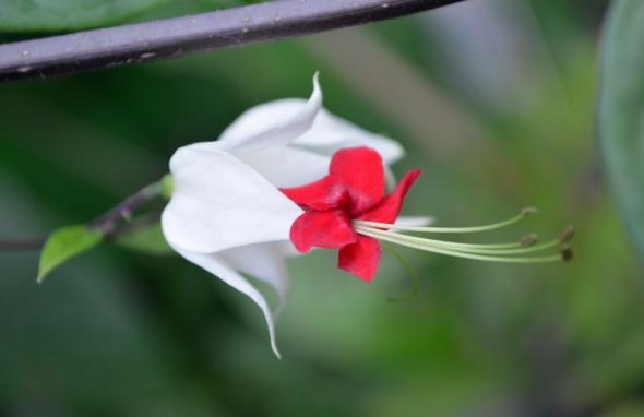 Unos le dicen caprichosa, otros peperonia, ¿cuál será el nombre real de esta belleza?