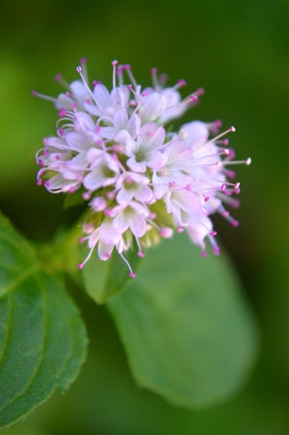 Flor de menta