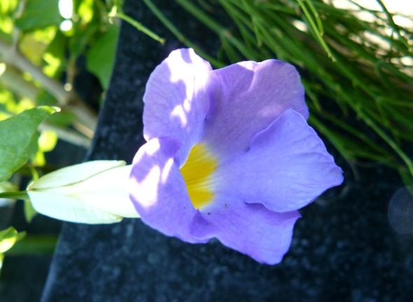 Bignonia lila