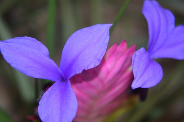 Belleza lila