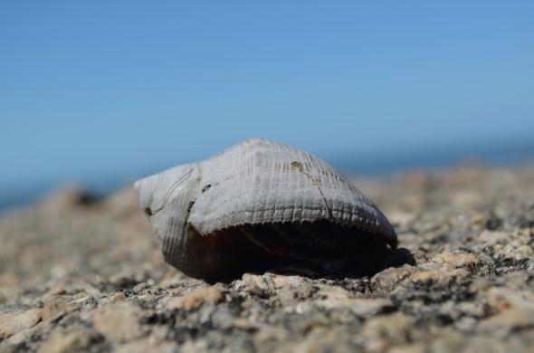 De este tipo de caracoles encontré muchos en la costa de Rocha, Uruguay.