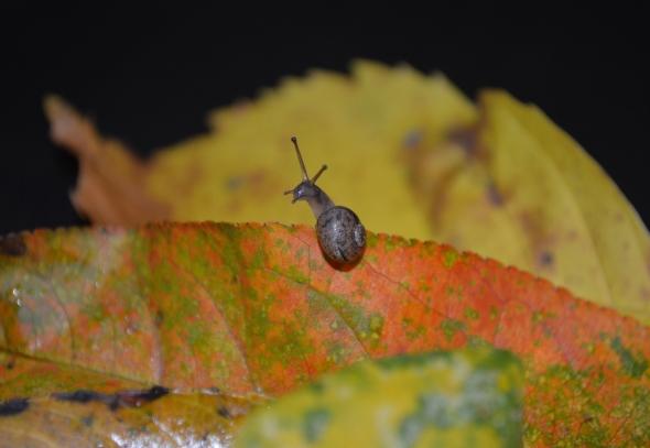 Pequeño caracol explorando sobre las hojas de coloridas del otoño.