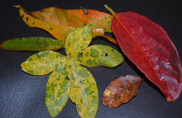 Hojas que encontré en nuestro patio de distintos árboles y de distintos colores.