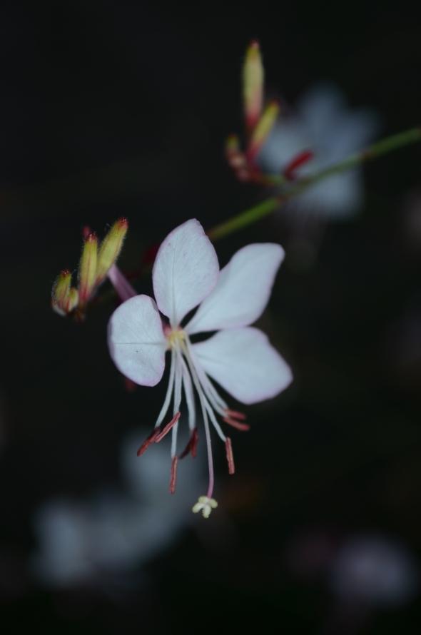 Desconozco el nombre de esta pequeña belleza blanca, pero aún así quería publicarla.