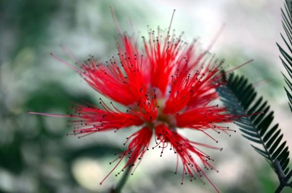 Albizia roja