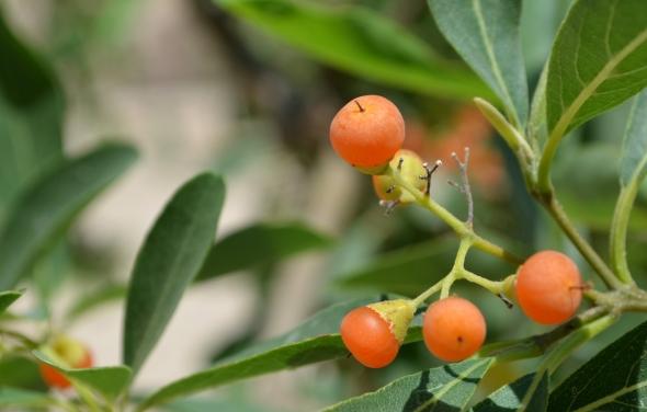 Frutos de En Gadi