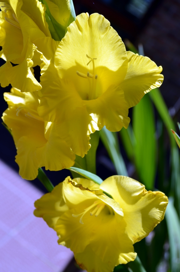 gladiolo amarillo