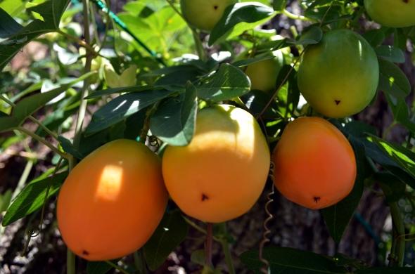Frutos madurando