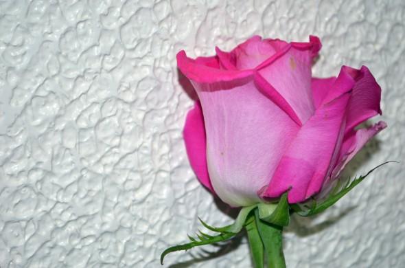Rosa fucsia