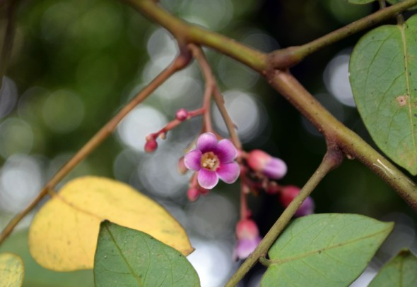 Flor de carambola