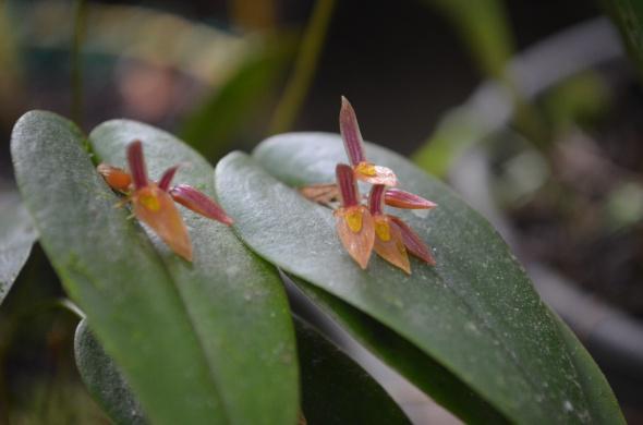 pequeña orquídea que florece en la parte superior de la hoja