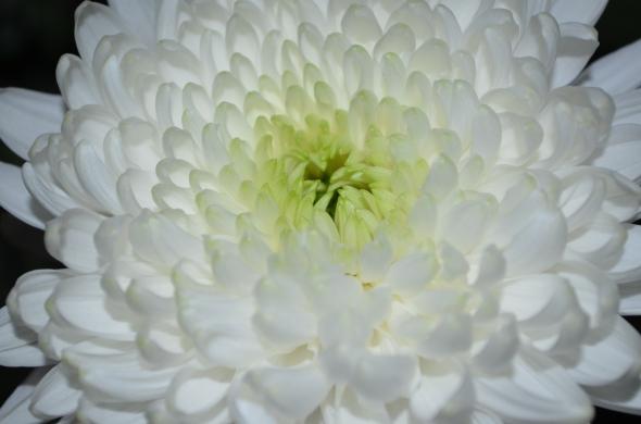 Crisantemo iluminado