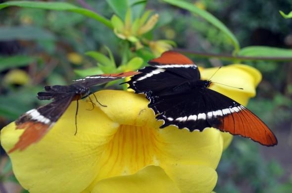 mariposas sobre flor2