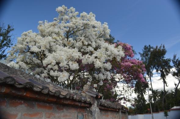 Arupos blanco y rosa, adornan la ciudad de Quito durante el verano.