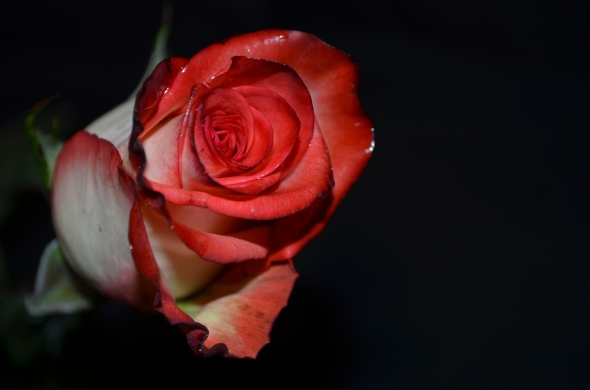 rosa blanca y roja