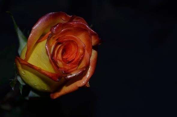 rosa amarilla y roja