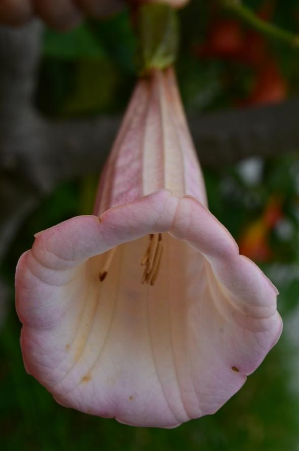campana rosa